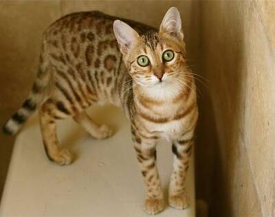 Inilah Ras Kucing Termahal Di Dunia Info Update