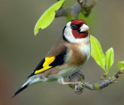download suara burung kemade resep masakan