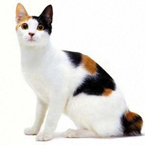 Aneka Jenis Kucing Species Asli Indonesia   KASKUS