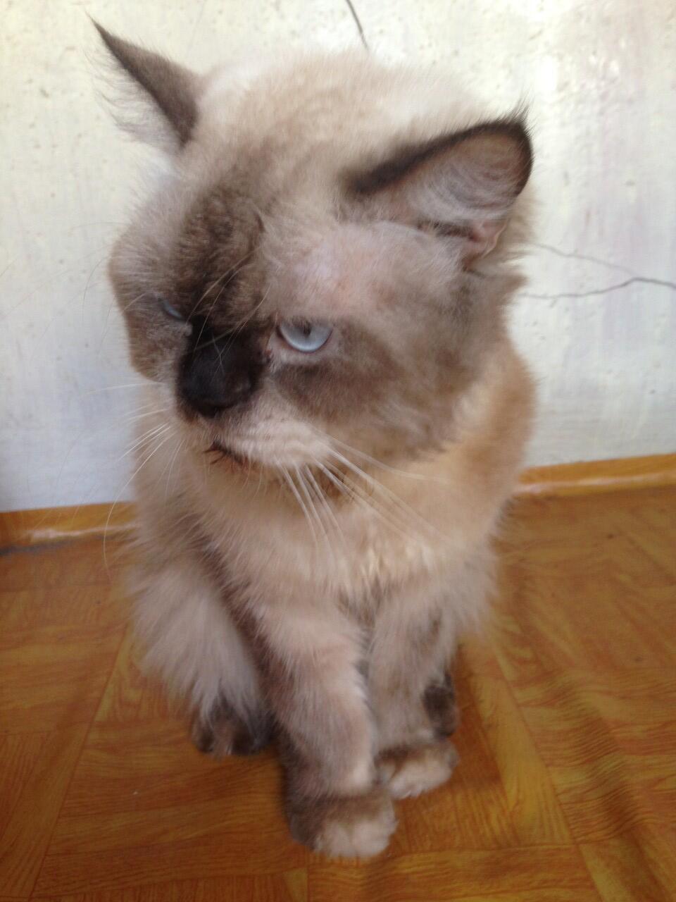 Sos Kucing Himalaya Terlantar Kaskus