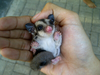SUGAR GLIDER JOEY SURABAYA TRAVEL POUCH