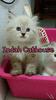Kucing Persia Flatnose Kitten super lucu murmer bisa cod