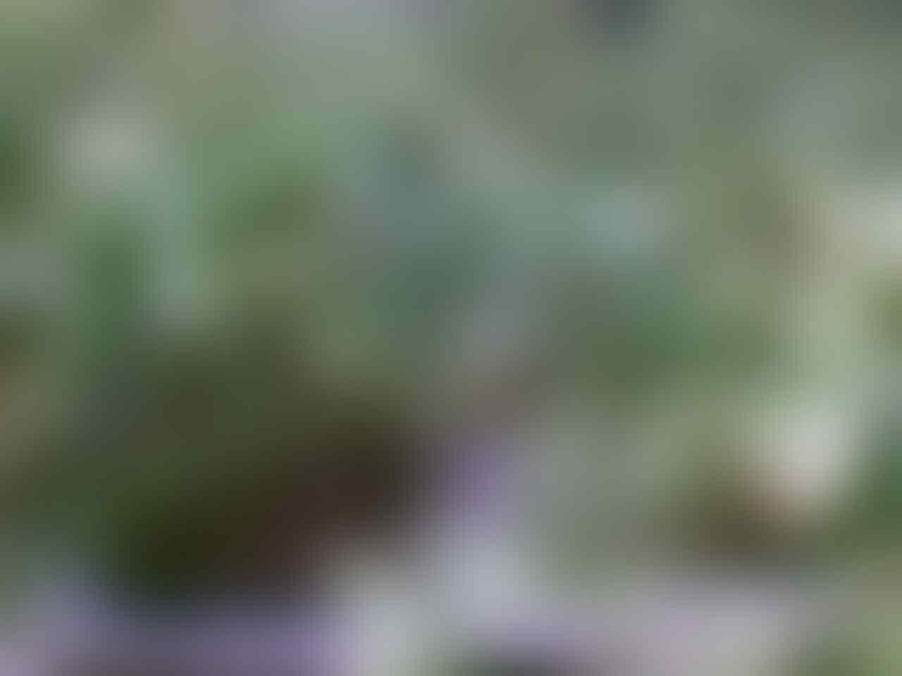 bibit pohon sirsak dipercaya dapat menyembuhkan kanker