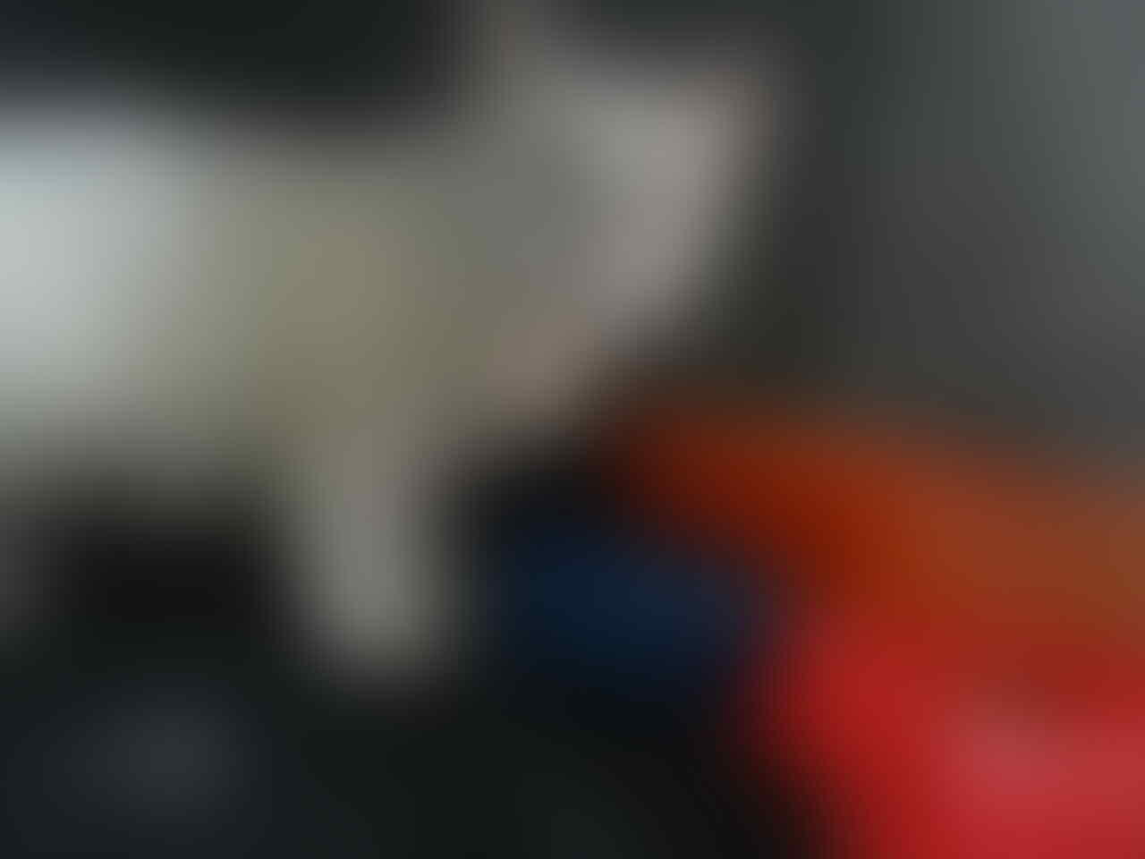 kucing persia (salatiga, solo, semarang)