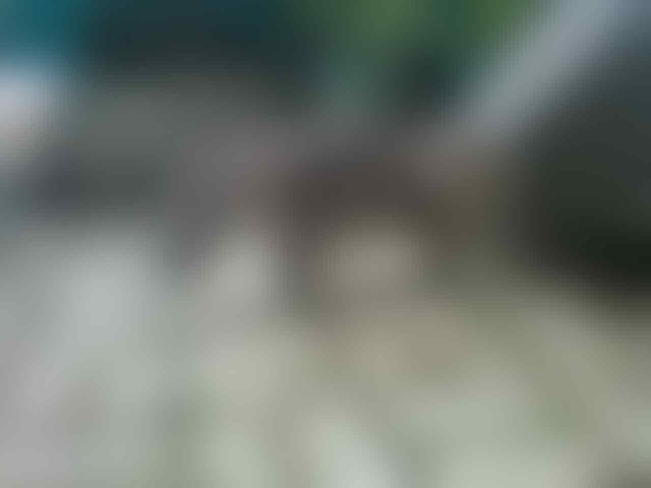 kucing pejantan persia anggora proven,,mampir gan!!