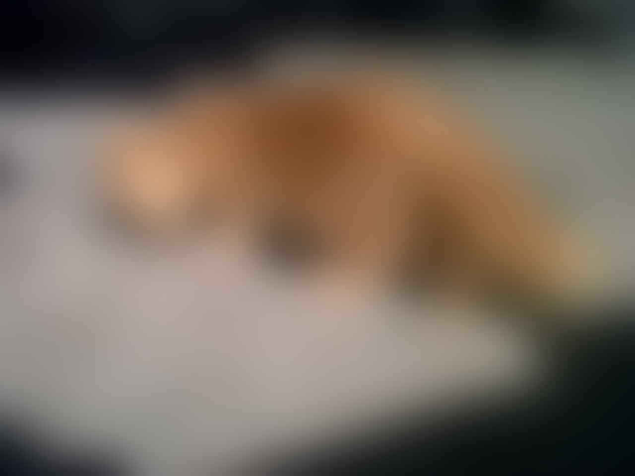 Anakan Kucing Persia Long Hair Murah (Red Tubby)
