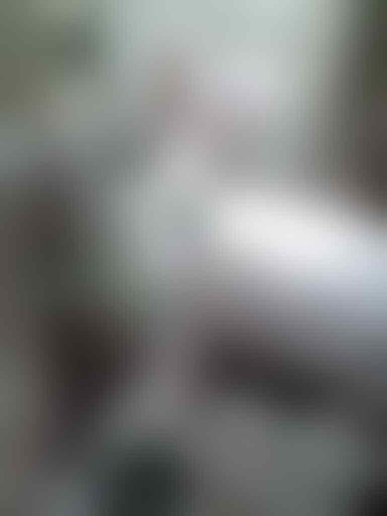 kelinci flemish giant white