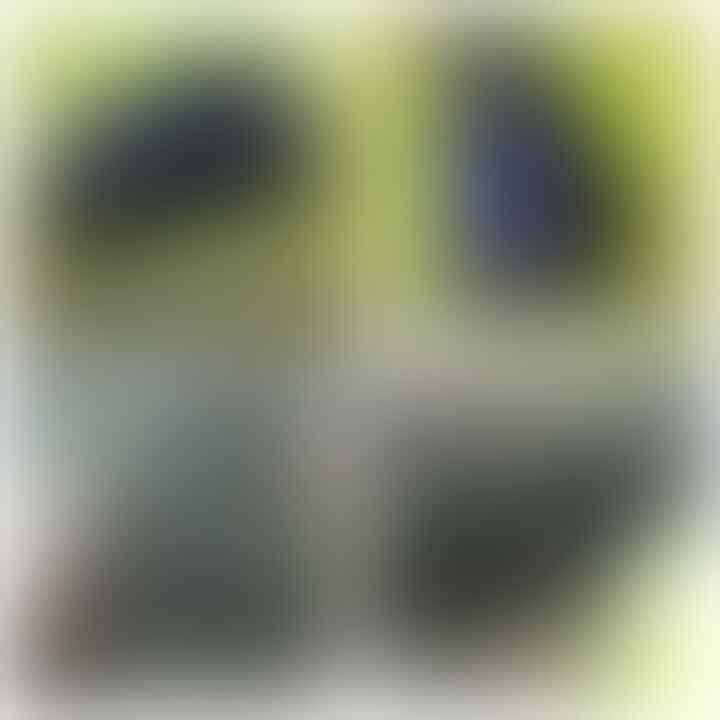 LELANG LAGI SAMBIL NYATE MBEEE(PANCAWARNS,BACAN PAPUA,DLL)CLOSE 26/9 22:00 AUTOCLOSE