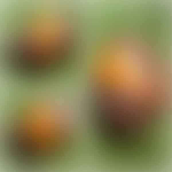Lelang Loose Stone : Rafflesia, PW, Black Jade, Sungai Dareh...