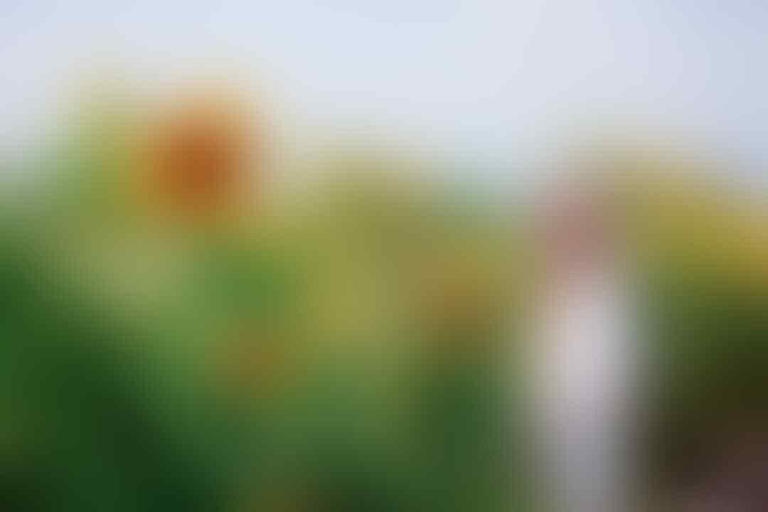 5 Kebun Bunga Matahari Paling Indah di Indonesia, Cantik Banget!