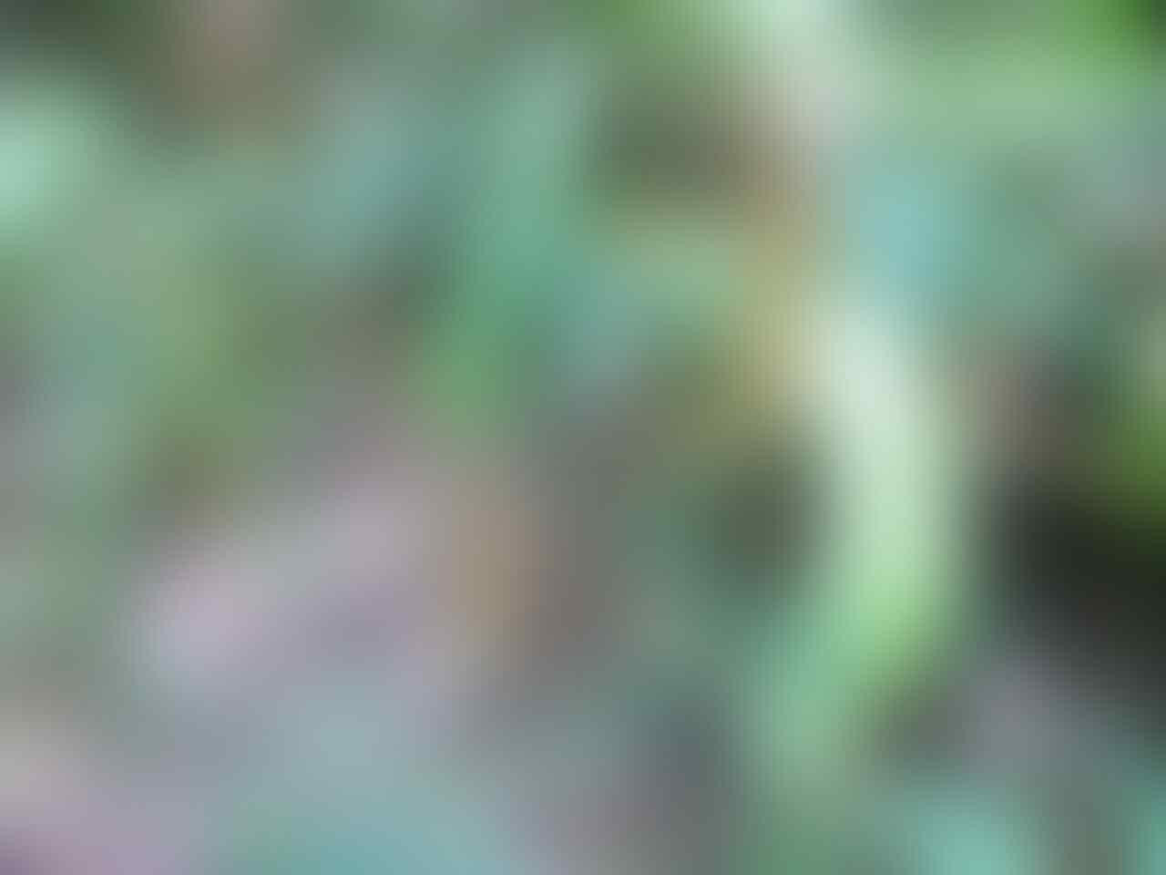 Mengenal si Kantung Semar (Nepenthes) serta tips dan trik memeliharanya #Aslinyalo
