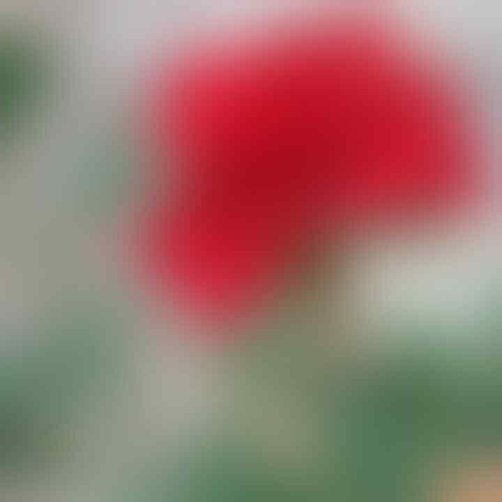 Tips Menanam Bunga Mawar