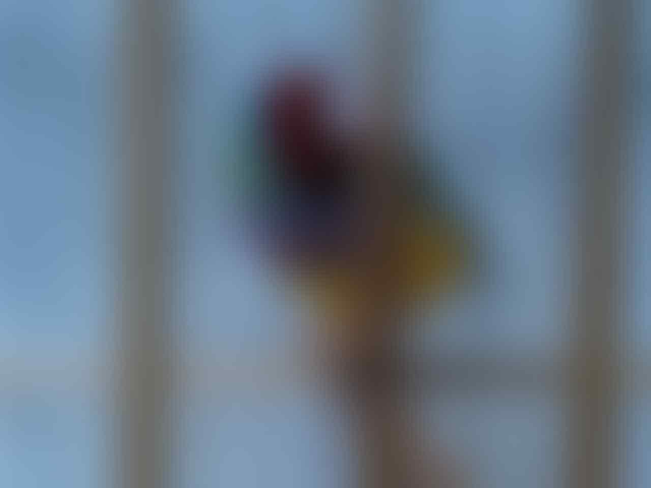 Gold Amadine, Burung Finch Cantik Menggemaskan...