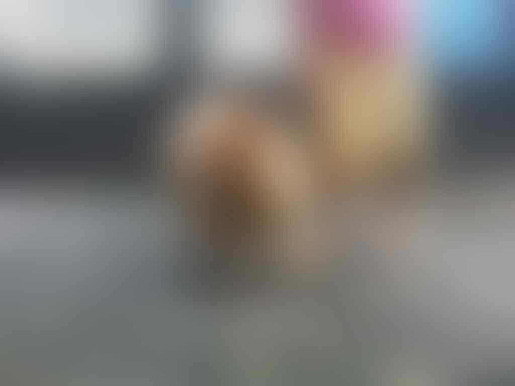 Anjing Chow chow calon Indukan cocok untuk breeding umur hampir 2 Tahun