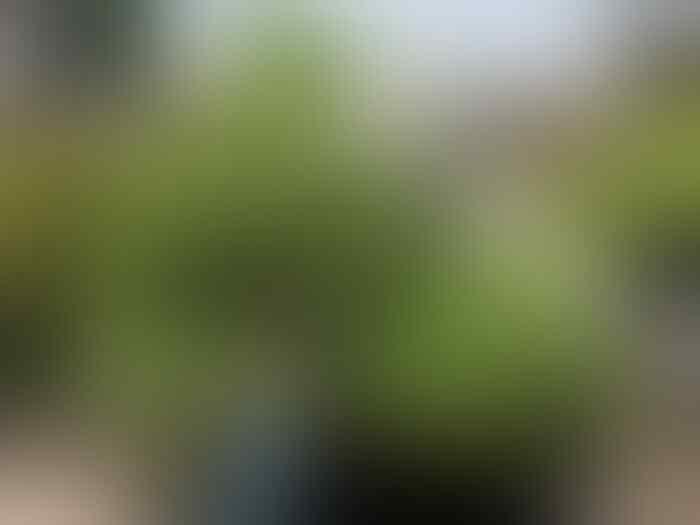 Bonsai Tertua di Dunia Bentuknya Kayak Apa ya? Cekidot Gan Sis!