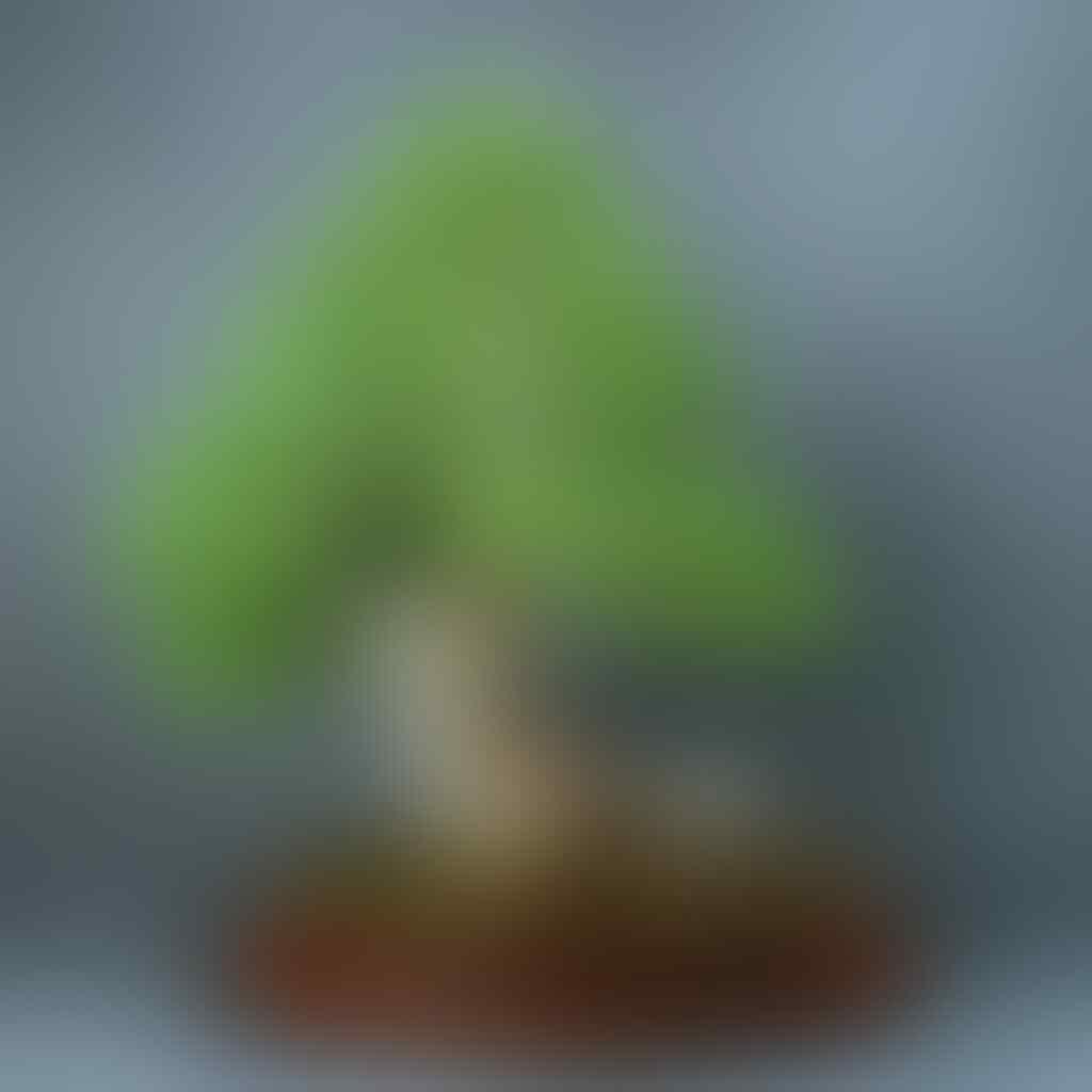8 Bonsai Cemara Bergaya 'Shari' Yang Bikin Penggemar Bonsai Ngiler