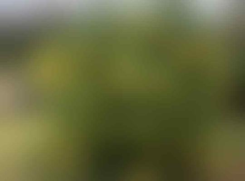 13 Tanaman Beracun & Berbahaya Yang Ada Di Indonesia