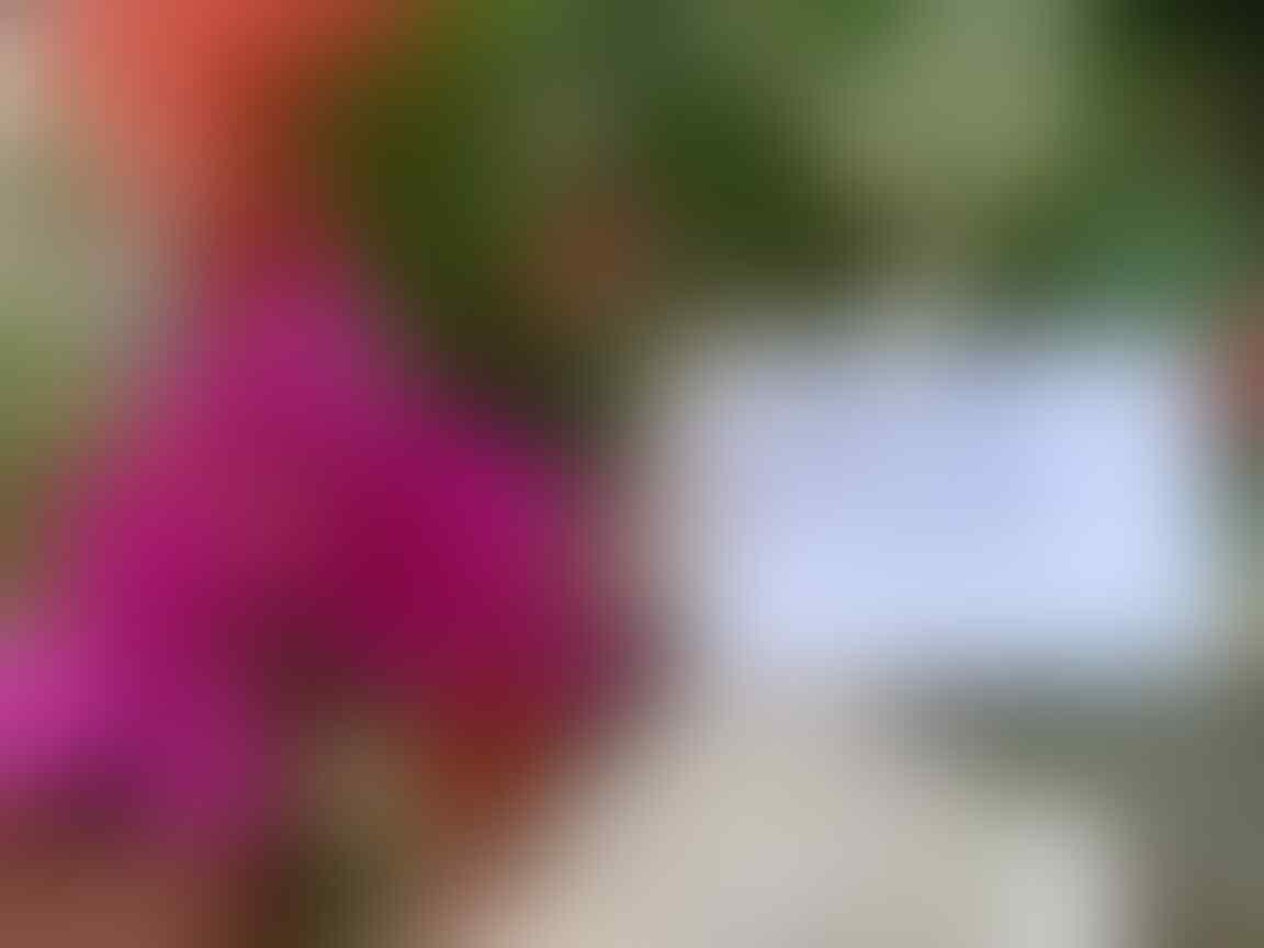 Sambung Pucuk Bunga Bougenville, Satu Batang Bisa Lebih Dari Satu Warna