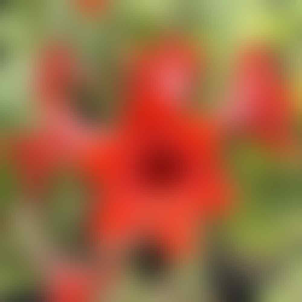 Tips Agar Bunga Amarilis (Bakung) Berbunga