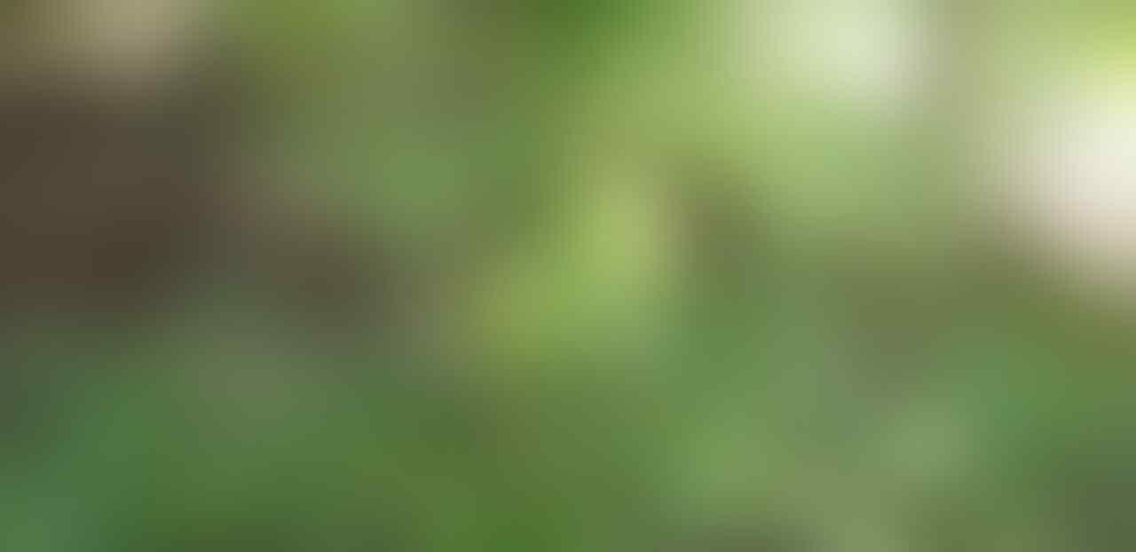 Cara Ane Menanam Cabai Merah dengan Memanfaatkan Karung Bekas
