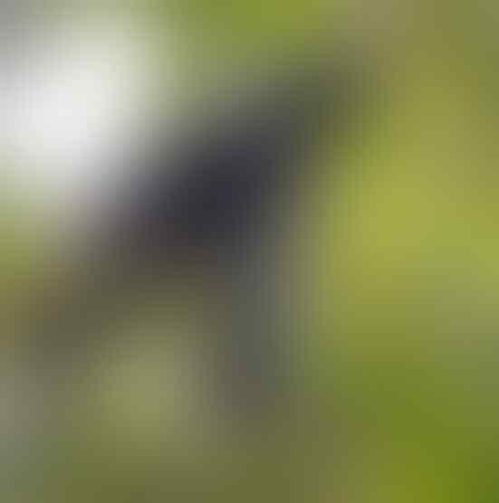 Burung Aneh Yang Bikin Kamu Gagal Fokus!! Jenggotnya Panjang Mirip Osama Bin Laden?