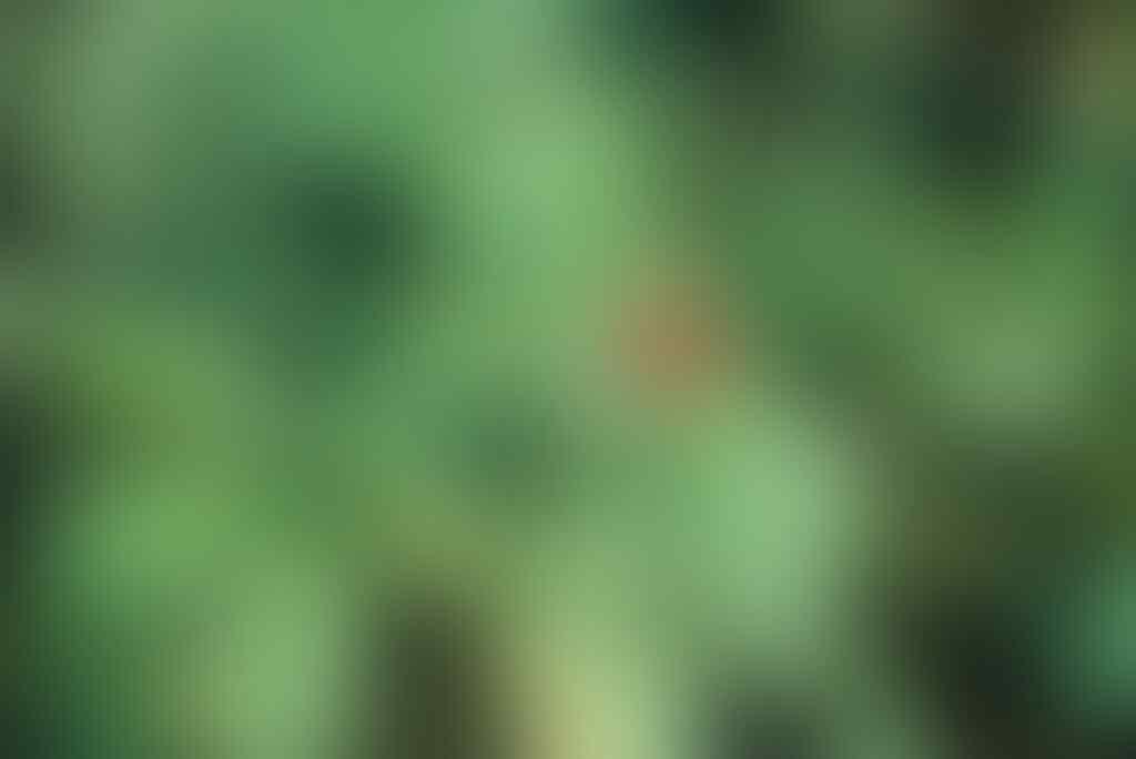 Mengenal Som Jawa, Tanaman Yang Dikenal Sebagai Penambah Stamina