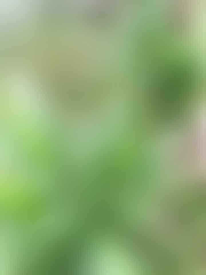Hanggasa, Tanaman Asli Indonesia Yang Buahnya Manis Dan Kaya Manfaat