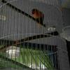 Burung Lovebird dan sangkar lokasi Bandung