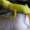 Iguana Albino Baby Mumer