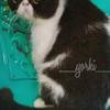 Kucing Persia Peaknose Exotic Jantan Dewasa