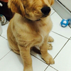 Golden Retriever - Jantan - 4 Bulan