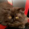 Sepasang Kitten Persia Peaknose Long Hair