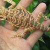 HewaN ReptilE Bearded Dragon Super Red n Blood Red