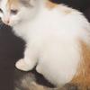 jual kucing anggora lucu masih kecil