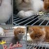 For Sale/Adobt Kucing kitten persia Peaknose ekstrim LH 2jtan Bandung