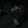abjing beagle 3 bulan stambum