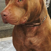 American Pitbull Terrier calon pejantan All Cocoa siap Dugong