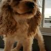 Jual cepat Puppies Coocker Spaniel Betina