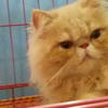 kucing persia peaknose/pignose...