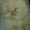 kucing persia indukan proven