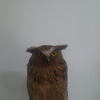 [WTS] burung hantu buffy fish owl