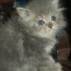 wts kucing kitten persia betina