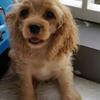 Anjing Coocker Spaniel 4 bulan Betina