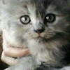 Ready Adopt Kitten Exotic