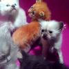 kucing persia sealpoint surabaya