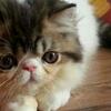 Kucing Persia Jantan 3 Bulan Ped ICA