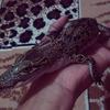 Buaya Porosus HY +- 40 cm