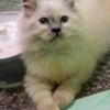 3 kitten persia umur 2 bulan (SOLO)
