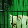 kitten persia himalayan