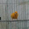 sepasang kenari yg jantan gacor